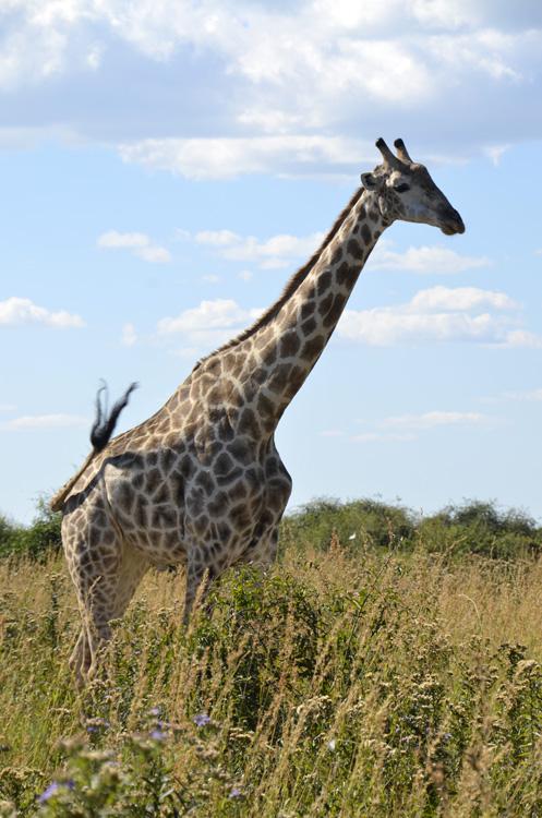 Ej syntes eg fekk sett litt lite giraffar dagen før, såg berre to stykk på nært hald. No fekk eg sett mange! Sikkert 50 kanskje rundt. Nokre nært og fleire lenger unna på begge sider av vegen.